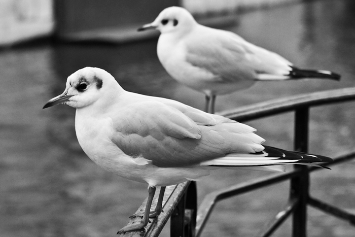 mouettes-d-annecy.jpg