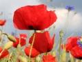 20090924135806_coquelicots.jpg