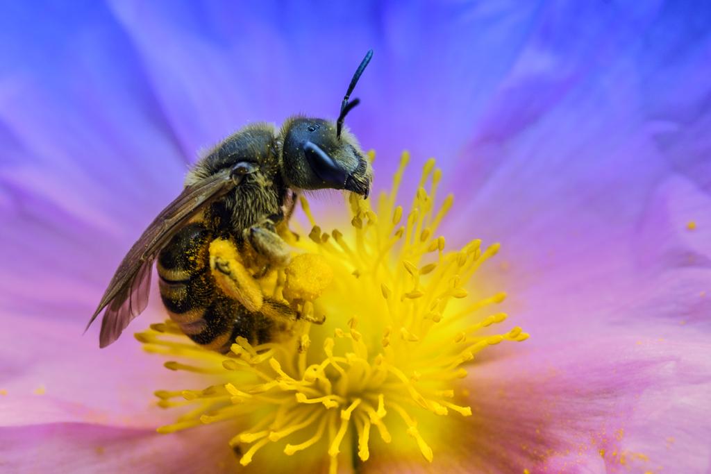 macro-abeille-fleur